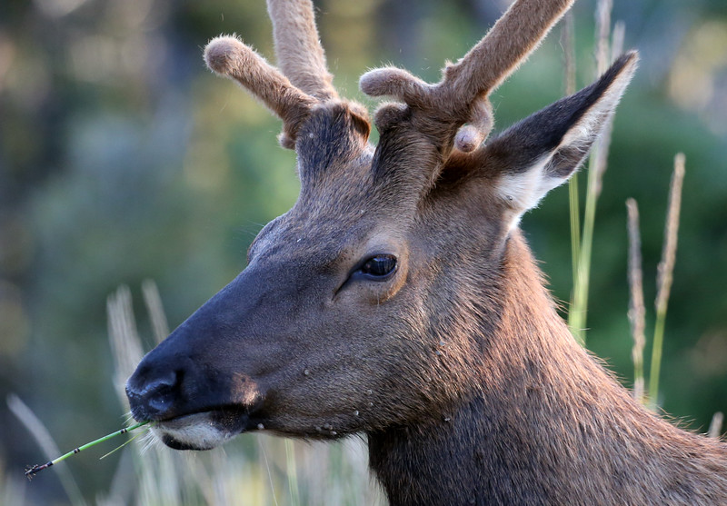 Elk near Bunsen Peak - Yellowstone National Park