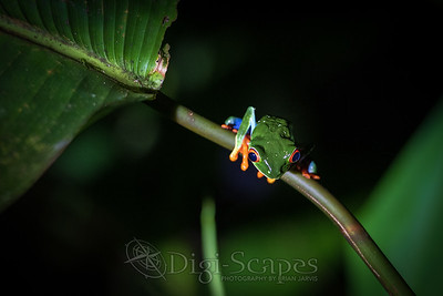 Red Eyed Tree Frog - Costa Rica