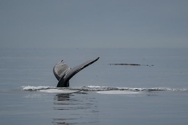 Humpback whale dive in the Salish Sea