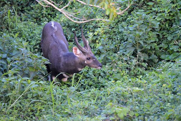 Male bush buck