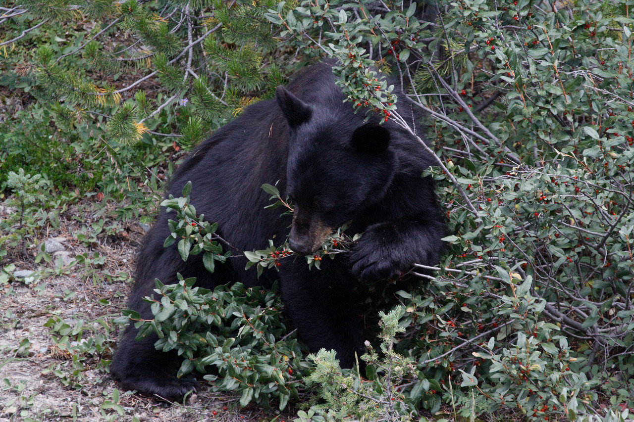 Black Bear near Banff