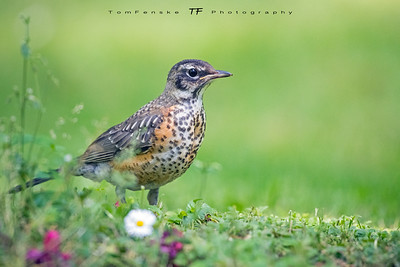 Young American Robin