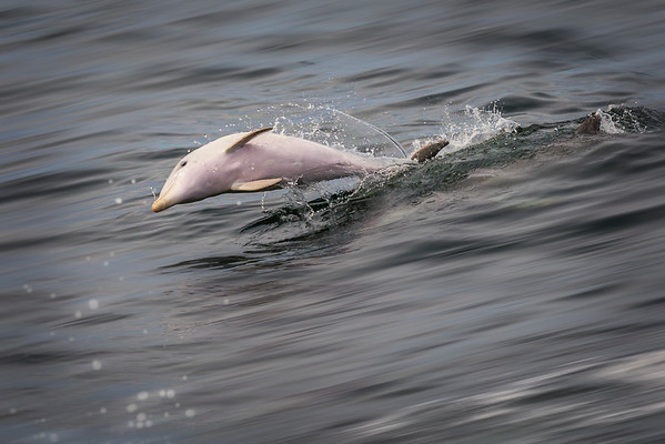 Flying Dolphin.
