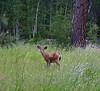 BBR-deer IMG_0741 KTK copy