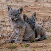 Coyote Pups 6/5/20
