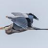 Great Blue Heron in Flight 4/27/17