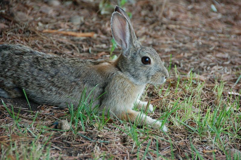 98 - Cottontail Rabbit, CO