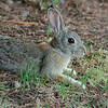 98 - Cottontail Rabbit, CO