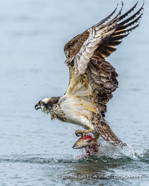 Osprey Pulling Kokanee Salmon from the Water