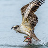Osprey Pulling Kokanee Salmon from the Water