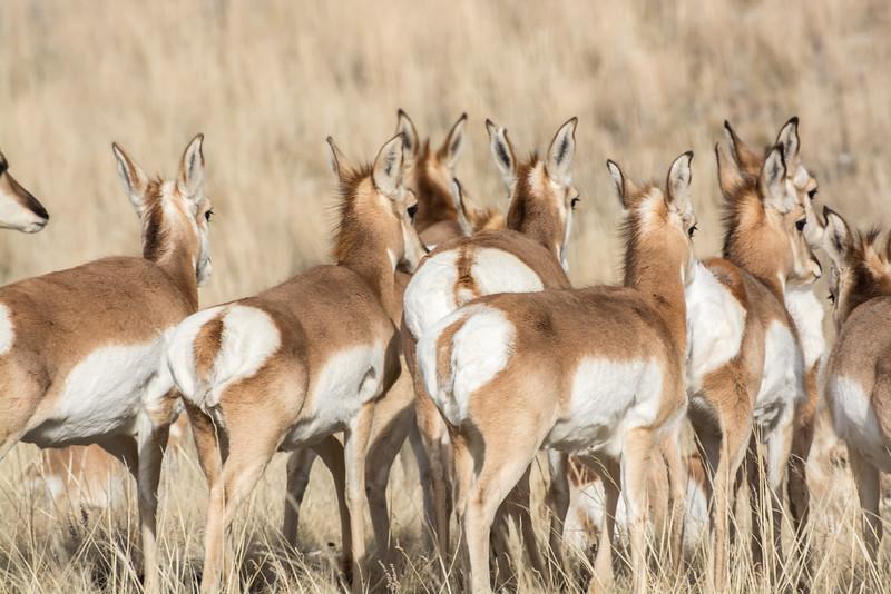 Antelope of Ennis, MT