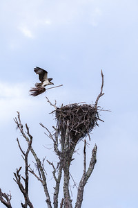 A Florida Everglades Osprey returns to nest with a branch to add to the nest.  Or did she want to sweep up the nest?