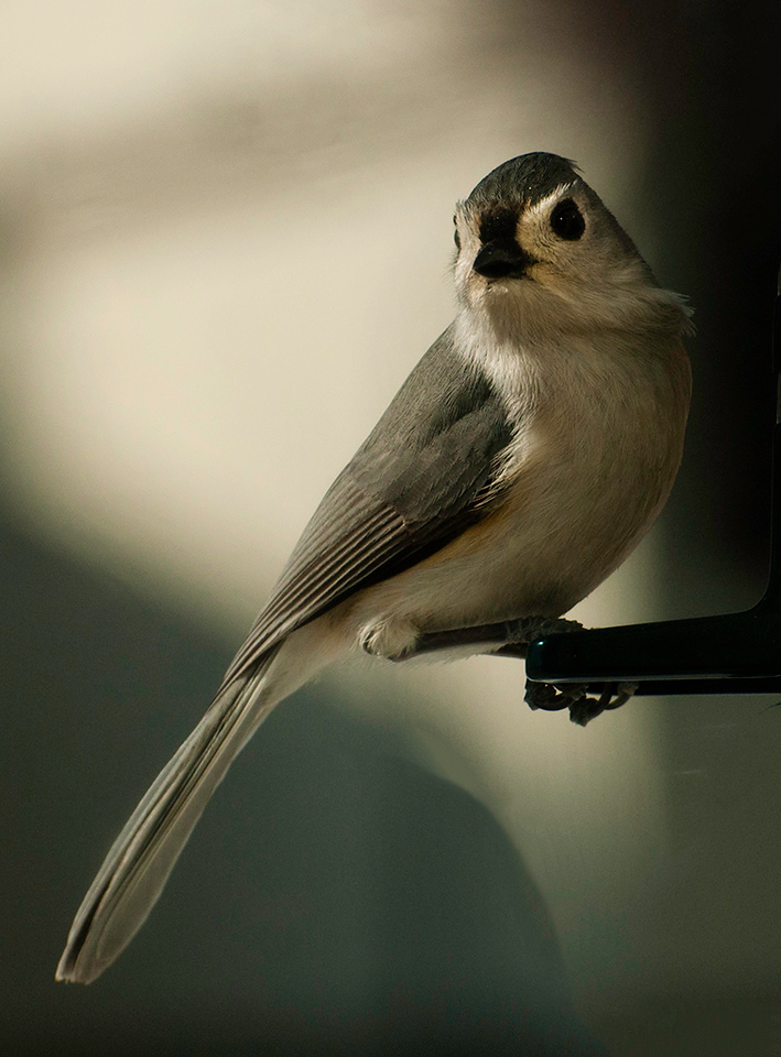 Tiffted Titmouse
