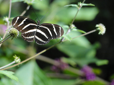 The zebra longwing butterfly (Heliconius charitonius) was designated the official state butterfly of Florida in 1996.