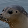 Harbor Seal 2/1/18