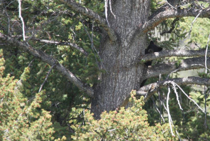 Black Bear Cub up a tree - Yellowstone National Park