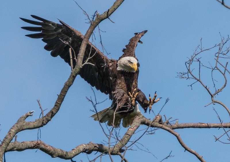 Bald Eagle Landing 5/21/17