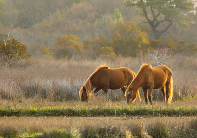 Assateague Ponies at Sunrise