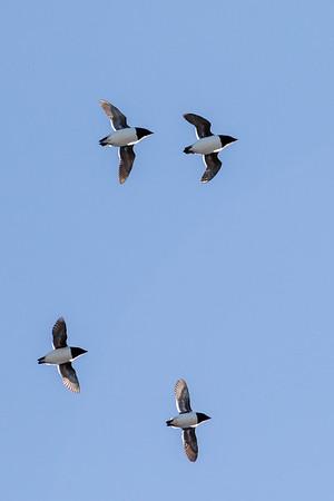 Flying dovekies