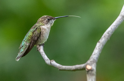 Ruby-Throated Hummingbird With Tongue Out 7/23/18