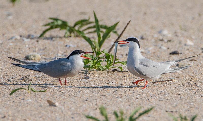 Common Terns with Fish 6/1/16