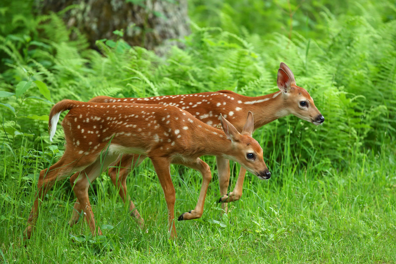 Twin White-tailed Deer Fawns, Shenandoah National Park