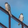 Peregrine Falcon Pair 11/22/16
