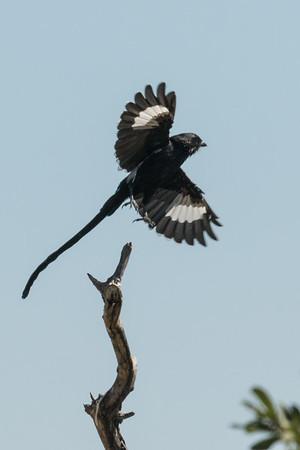 Flying magpie shrike