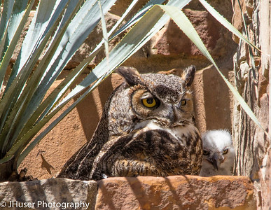 Great Horned Owl and her white downy owlet