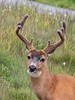 Male Blacktail deer