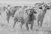 Cape Buffalos stare