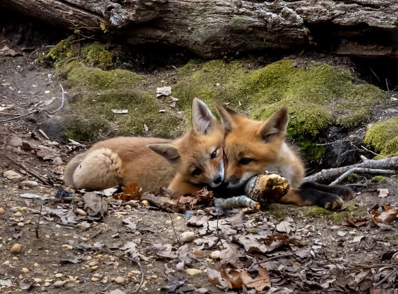 Red Fox Kits 5/3/20