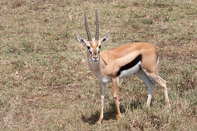 Gazelle, Thomson-