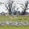 Snow Geese 3588