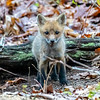 A Red Fox Kit 4/30/21
