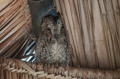 Scops-owl, African (spp. senegalensis)