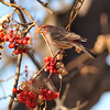 Frolicking House Finch