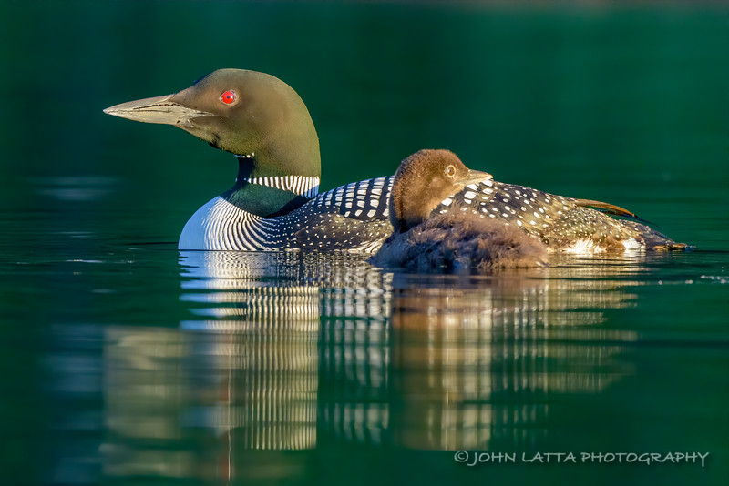 Male Adult Loon and Chick