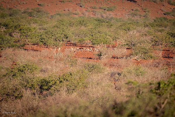 Antidorcas marsupialis