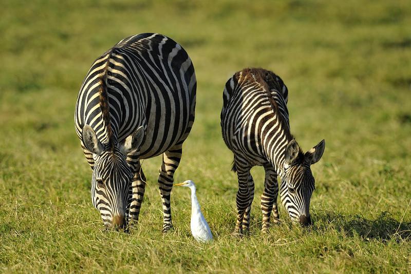 Zebra and Foal Grazing, Kenya, East Africa
