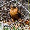 Red-Shouldered Hawk 3/13/16
