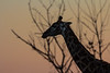 Silhouetted yet patterned Giraffe in the morning  KwaZulu-Natal light