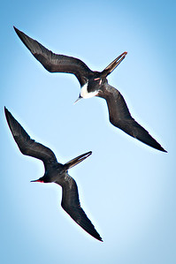 Pair of Frigate Birds in flight