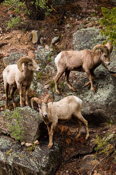 Rocky Mountain Big Horn Rams on mountainside, Rocky Mountains, CO Spring