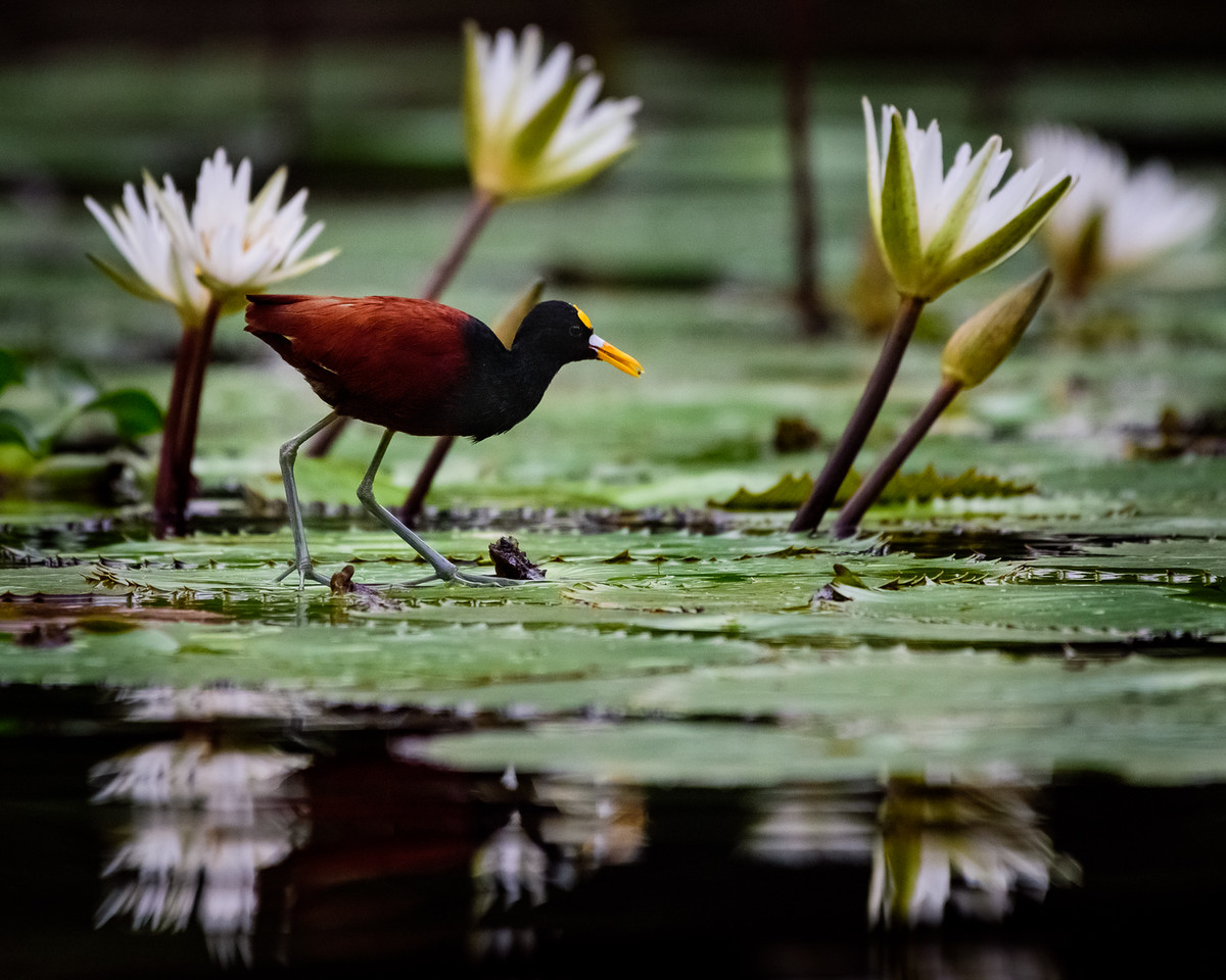 A Northern Jacana skirts atop these water-lilies of the Rio Dulce's protected water ways.  Guatemala 2016.