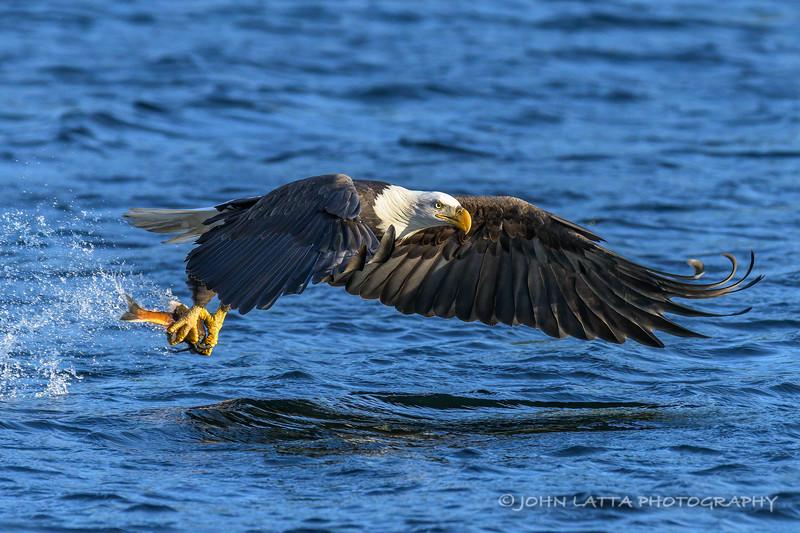 Bald Eagle Captures November Kokanee