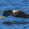 Bald Eagle Captures November Kokanee