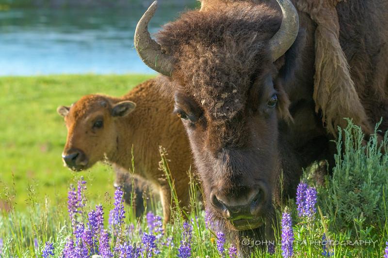 Hayden Valley Bison Family Portrait