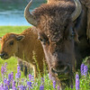 Hayden Valley Bison Family Portrait