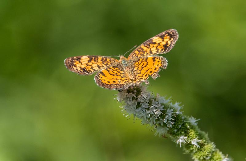 Fritillary Butterfly 8/31/16
